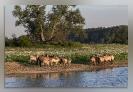 86 Paarden aan het water_1
