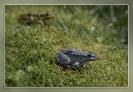 68 Blauwe kikker