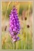 12 Orchis met bloeiend gras